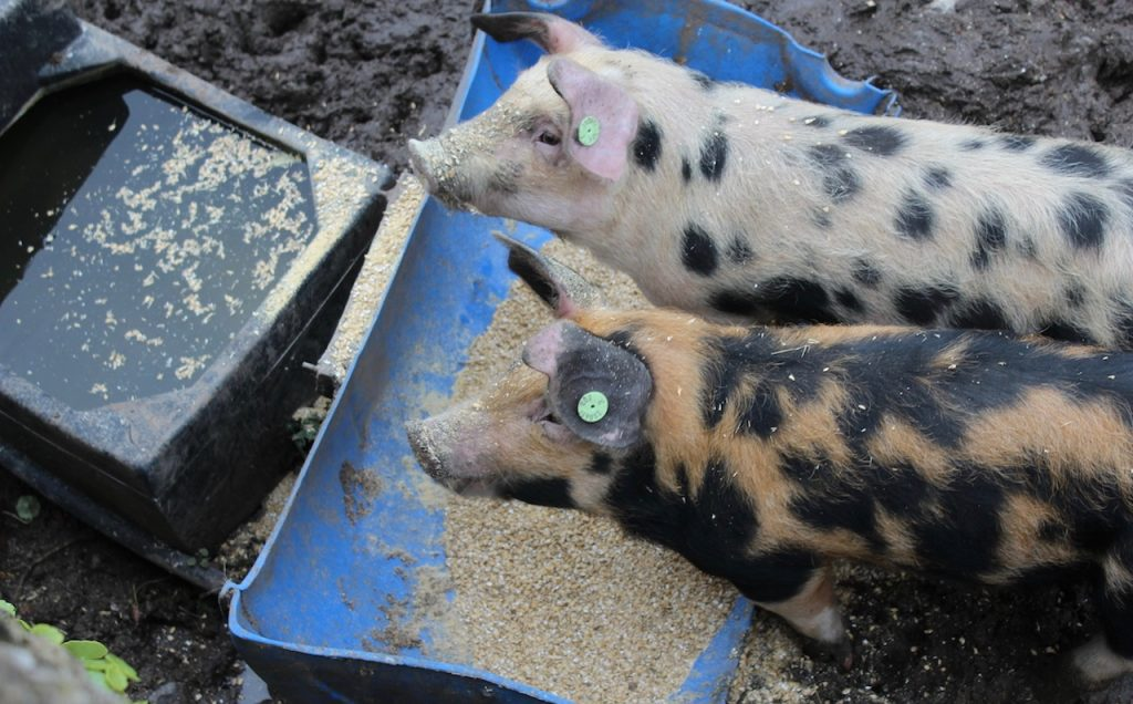 the-cloughjordan-house-pigs (1)